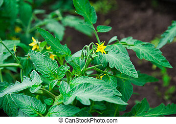 Growing tomatoes on bed. Greenhouse plants. Flowers of...