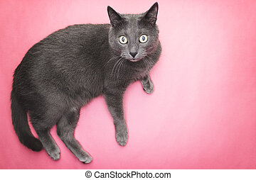 grey cat on the pink background looking at camera