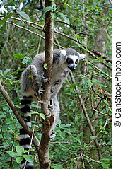 lemur in tree - single lemur in tree