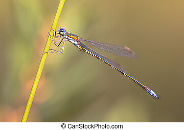 Male Small emerald spreadwing dragonfly (Lestes virens) pair...