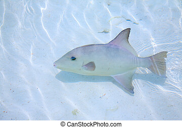 triggerfish in a shallow water