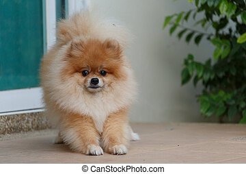 fluffy brown pomeranian cute dog small pet friendly