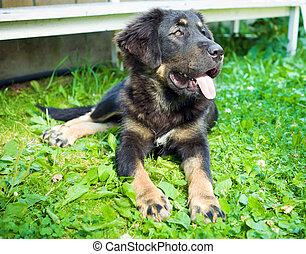 Tibetan Mastiff Puppy - puppy purebred tibetan mastiff on...