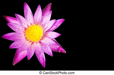 lotus with space text - purple lotus petals with space for...