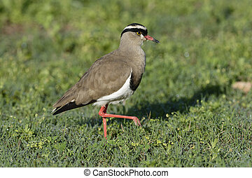 Crowned Lapwing, Addo Elephant National Park, Eastern Cape,...