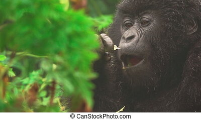 Mountain gorilla face closeup feeding in the forest, front...