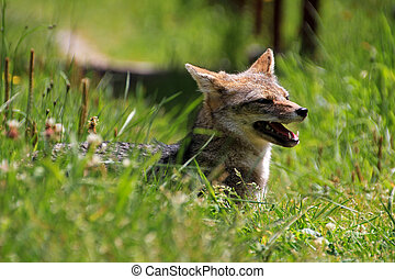 Andean fox, lycalopex culpaeus, also known as zorro culpeo....