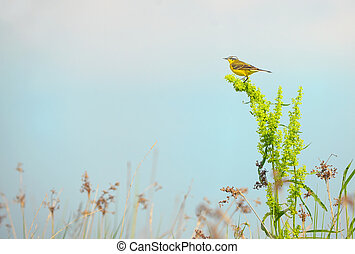 Western yellow wagtail (Motacilla flava) on field