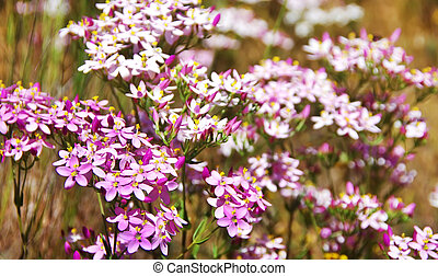 wild pink flowers closeup on  field