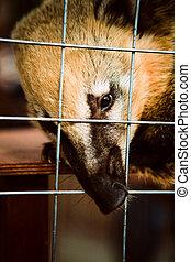 Coati animal in the zoo cage. - Coati animal in the zoo cage