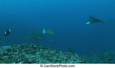 Eagle ray diving Underwater Video Galapagos islands Pacific Ocean
