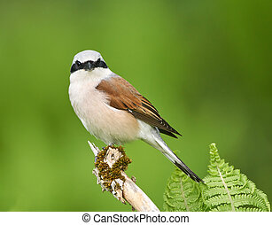 Red backed shrike perched - Red backed shrike (Lanius...