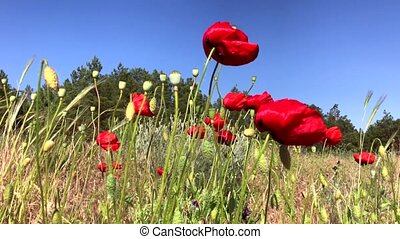 Field of red poppies, bottom view