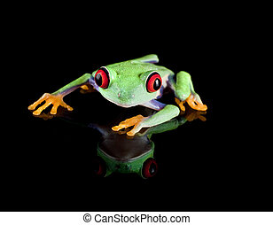Tree frog on black - Isolated red eyed tree frog reflected...