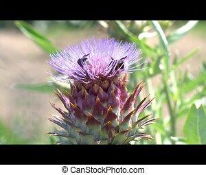 artichoke in bloom in the garden with bee