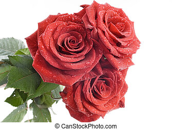 Three red roses with drops of water on the white background