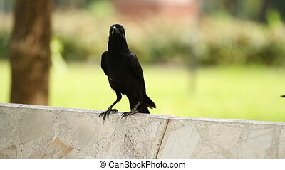 Young raven sitting on stone. Lumpini park. Bangkok,...