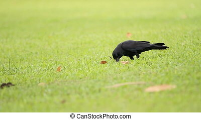 Two ravens looking for food in the grass. Lumpini park....