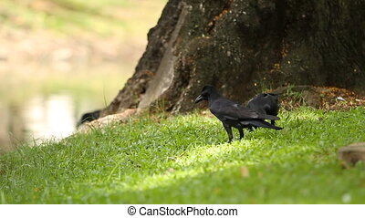 Two ravens looking for food in the grass under a tree....
