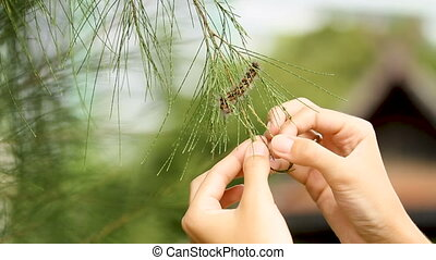 Woman touch fluffy caterpillar with pine needle.