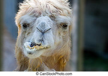 animal's head of a camel that chews - Image of an animal's...