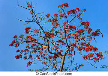 Branch of Gulmohar flowers or peacock flowers - Big branch...