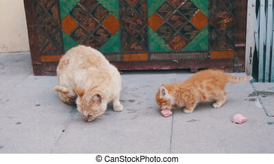 Stray Red Cat with a Kitten on the Street Eating Food. Stray...