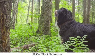 A dog in a forest at summer day - A dog - shepherd bernese...