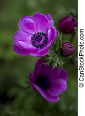 Fine art shallow depth of field image of anemone de caen...