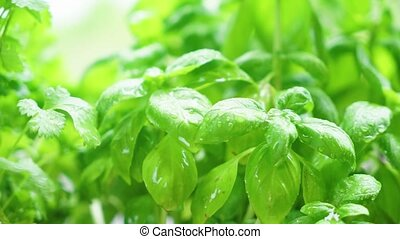 Fresh basil herb - Herbal garden with fresh basil herb and...