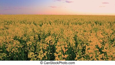 Sun Shining At Sunset Sunrise Over Horizon Of Spring Flowering Canola, Rapeseed, Oilseed Field Meadow Grass. Blossom Of Canola Yellow Flowers Under Dramatic Dawn Sky In Rural Landscape. Camera Motion