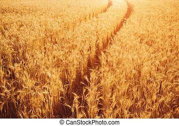 Gold Wheat Field. Beautiful Nature Sunset Landscape. Background of ripening ears of meadow wheat field.