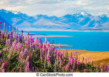 Landscape view of Lake Tekapo, flowers and mountains, New...