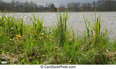 Lake shore with sweet grass and other plants swinging in the...