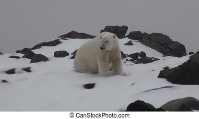 White polar bear on desolate ice of tundra in Svalbard....