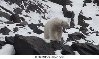 Polar bear go in search of food in Nordic badlands of...