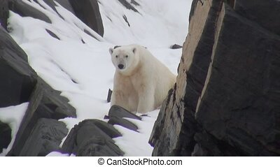 White polar bear walking on snow in a desolate of ice of...