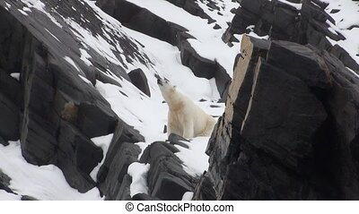 Sea bear go on snow in tundra of Spitsbergen.Travel in...