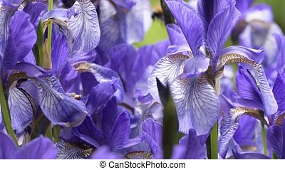 Blue irises closeup