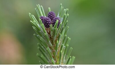 Young pine tree, close-up. - Young pine tree Latin Pinus...
