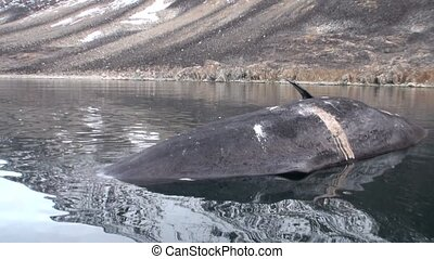 Dead whale in water of Svalbard. Dangerous animals in Nordic...