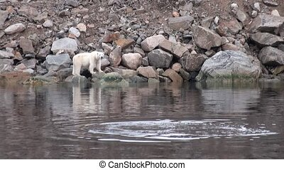 White sea bear is on the rocky shore in deserted of ice tundra of Svalbard.