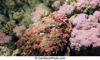 Red corals on sandy bottom deep underwater in sea of Egypt....
