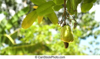 Nut Tree Cashew Growing Nuts. Busuanga, Palawan,...
