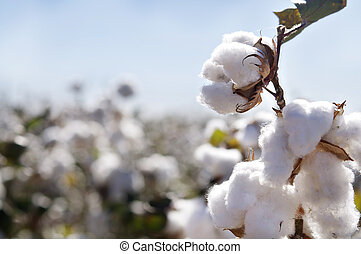 Ripe cotton bolls on branch - Close-up of Ripe cotton bolls...