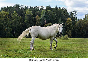 White horse on a green meadow - White horse is grazing in a...