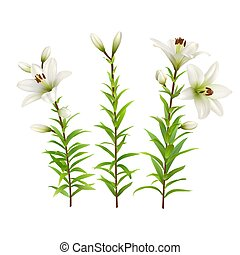 White lilies with green stem and leaves. Set of realistic flowers. Colorful floral vector illustration.