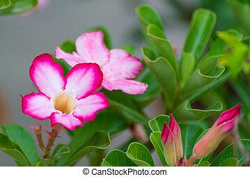 medicinale, fiore, piante,  adenium,  obesum