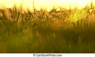 Panning clip of wheat or barley field at sunset or sunrise -...