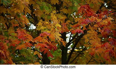 autumn leaves on a tree red and yelloow maple